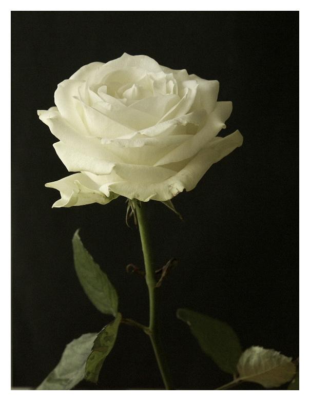 Rose-blanche2-GX20-SG206539-43-56-350-