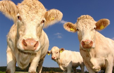 vaches-agriculture