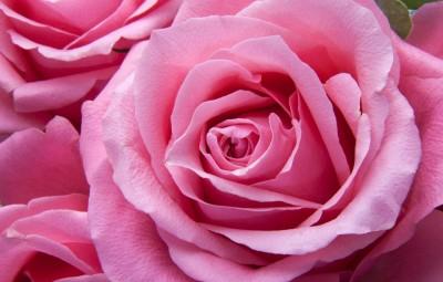 roses-194117_960_720