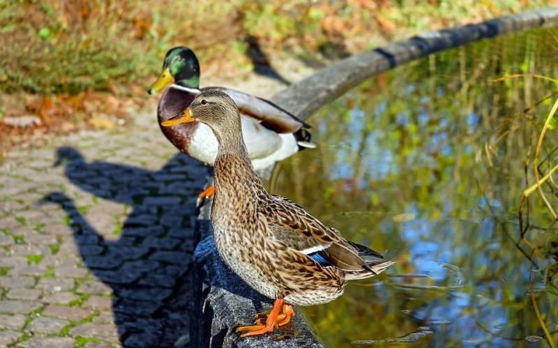 duck-1850232_960_720