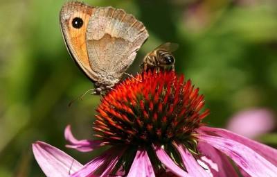 papillon-abeille