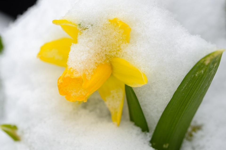 froid-jonquille-printemps