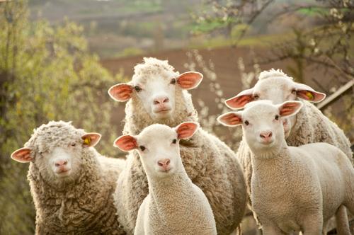 mouton-aid-al-adha