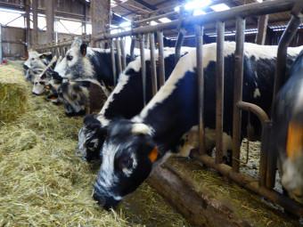 Loula-vache-vosgienne-salon-agriculture3