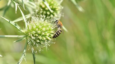 abeille solitaire_chardon roland Conseil départemental des Vosges