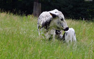 vache-vosgienne (2)