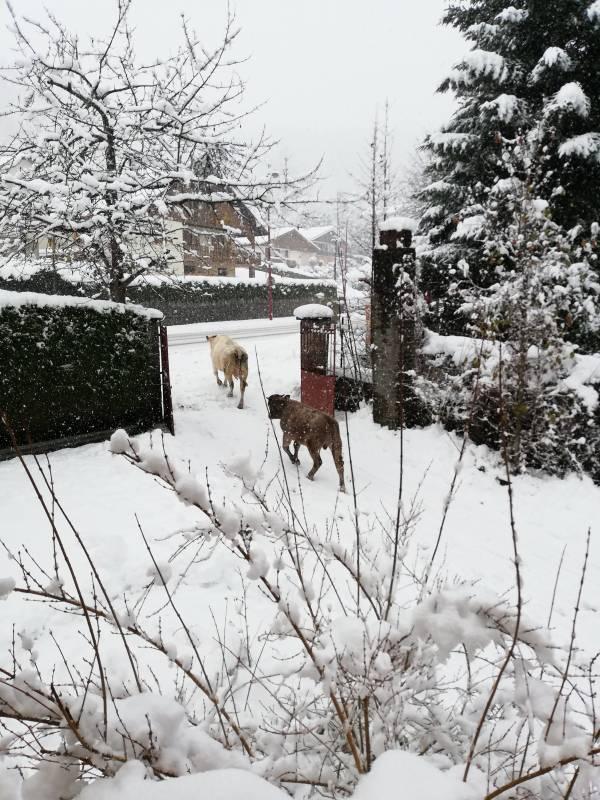 vaches-sport-hiver-vosges