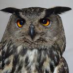 owl-2480753_1920