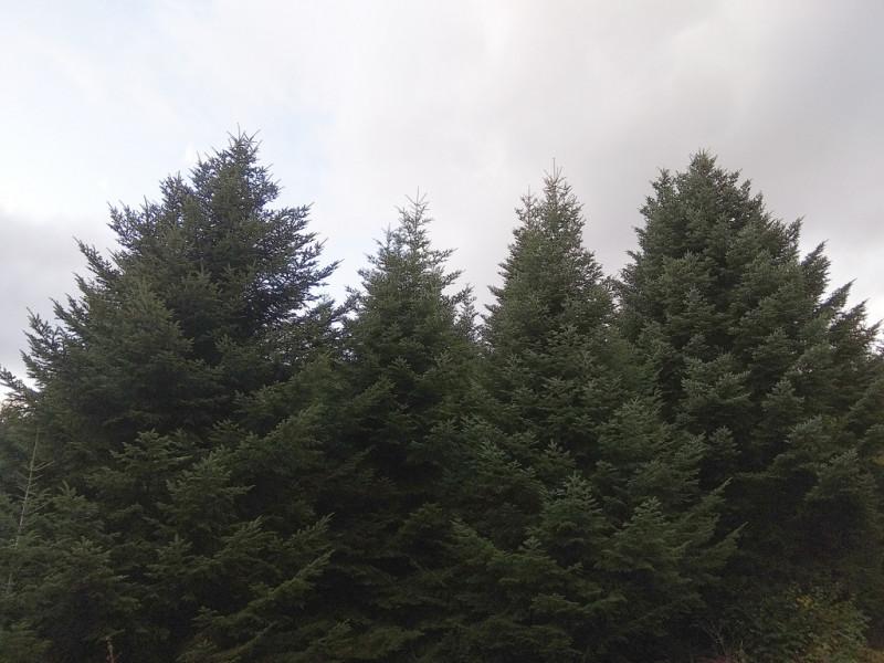 L'emblématique sapin des Vosges est impacté par le changement climatique.