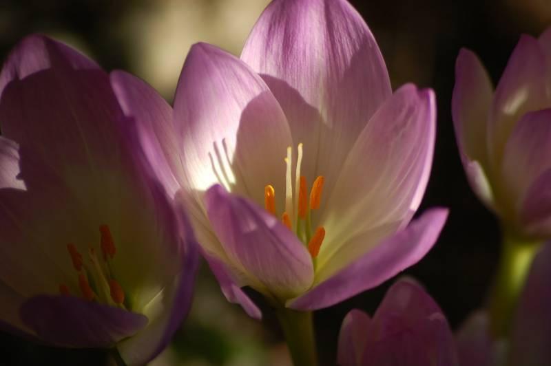 La fleur de la colchique. En cette période, seules les feuilles sont visibles