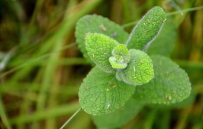 menthe-plante-commestible